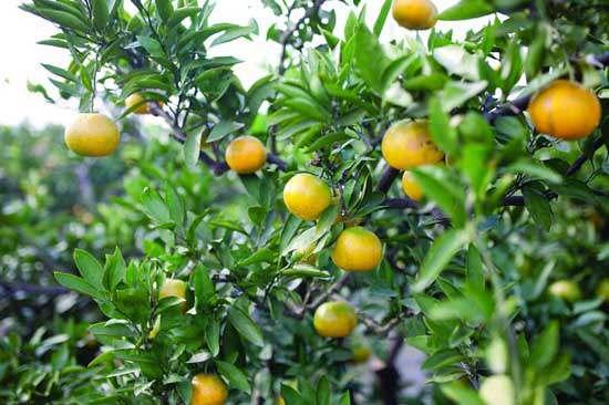 一年好景君须记,正是橙黄橘绿时。
