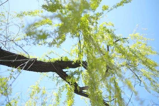 碧玉妆成一树高,万条垂下绿丝绦。