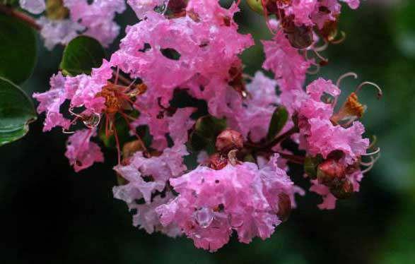 紫薇朱槿花残。斜阳却照阑干。双燕欲归时节,银屏昨夜微寒。
